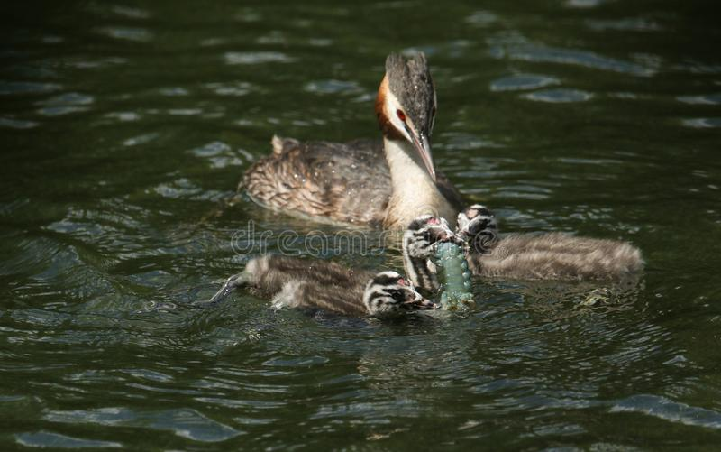 A family of stunning Great Crested Grebe Podiceps cristatus swimming in a river. The parent bird is feeding a Crayfish to the ba stock photography