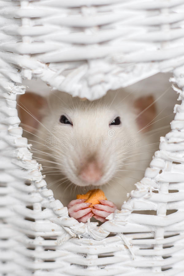 Cute fancy rat eating treats in heart shape vase window royalty free stock images