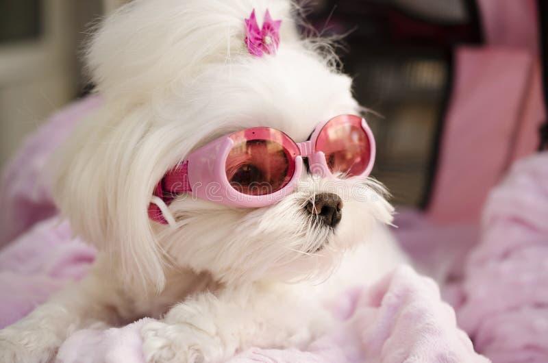 Cute fashion diva puppy Maltese. Cute puppy Maltese dog wearing pink fashion goggle sunglasses royalty free stock image