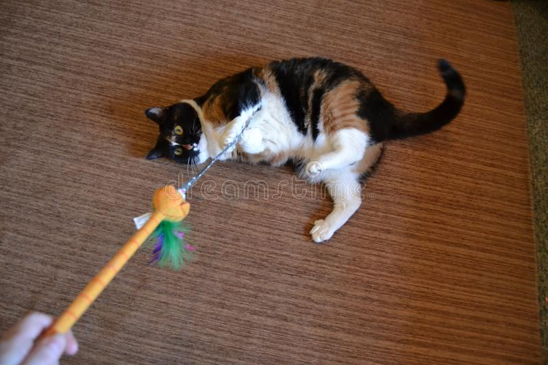 Cute fat cat plays with toy. A cute fat calico cat lays on the floor while playing with a cat wand toy royalty free stock photos