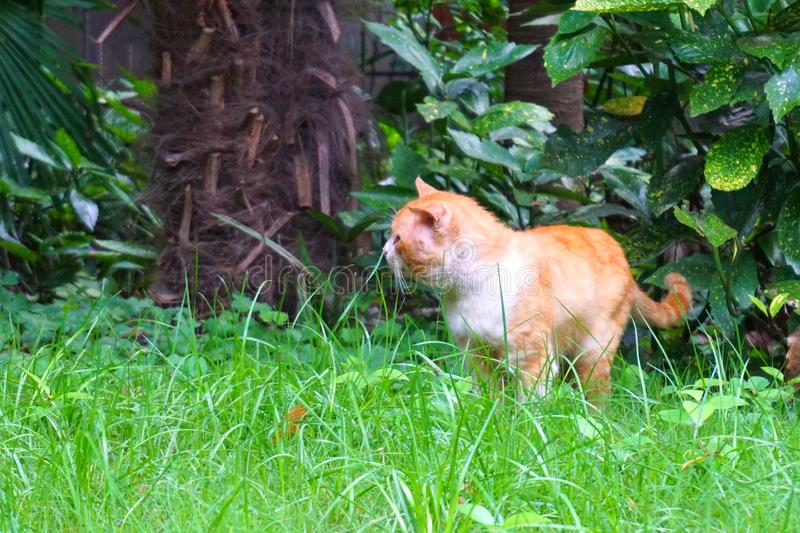 A cute and fat yellow cat in green grass. In the image, there is a yellow cat walking on gress grass royalty free stock photos