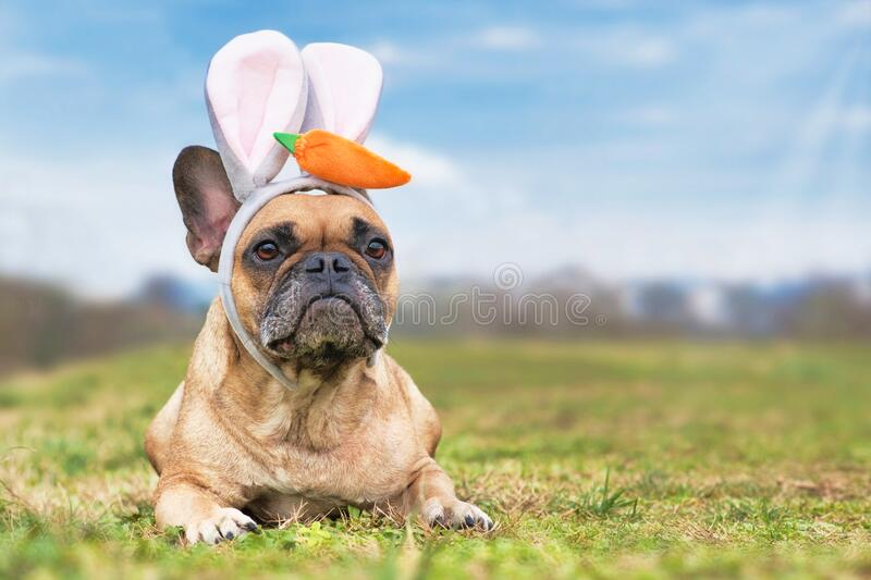 French Bulldog dog dressed up as easter bunny wearing a headband with big rabbit ears and plush carrot on head lying on meadow. Cute fawn colored French Bulldog stock images