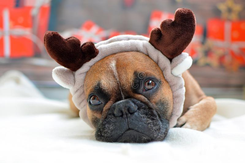 Cute fawn French Bulldog dog dressed as reindeers lying on floor in front of Christmas background royalty free stock photography