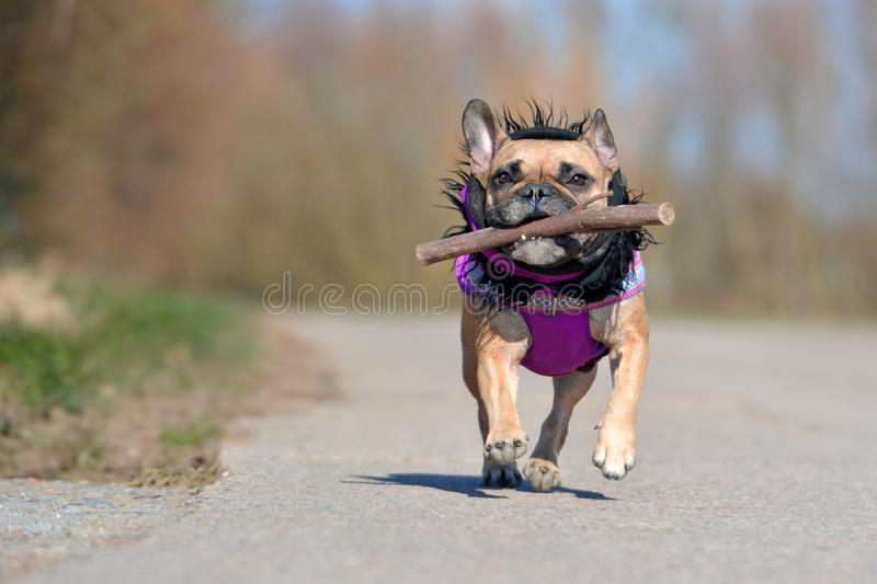 Cute fawn French Bulldog dog in purple winter coat with black fur collar running and playing fetch with a stick toy. Cute fawn French Bulldog dog gir in purple royalty free stock image