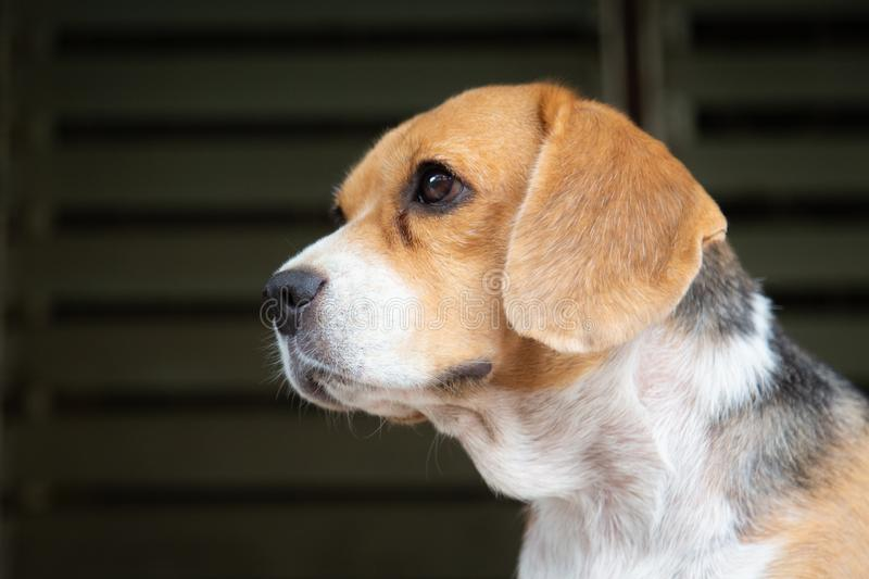 Cute female beagle dog looking up , pets , animal. Cute female beagle dog looking up , pets , animal royalty free stock photos