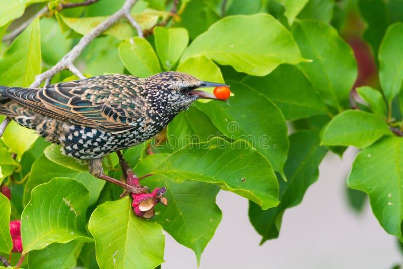 Cute female Eurasian Blackbird, Juvenile Common Blackbird (Turdus merula) eating red berries on the tree stock images
