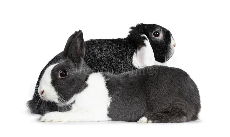 Cute female grey with white European rabbit and brave male black with white lop ear friend. Isolated on white background. royalty free stock photo