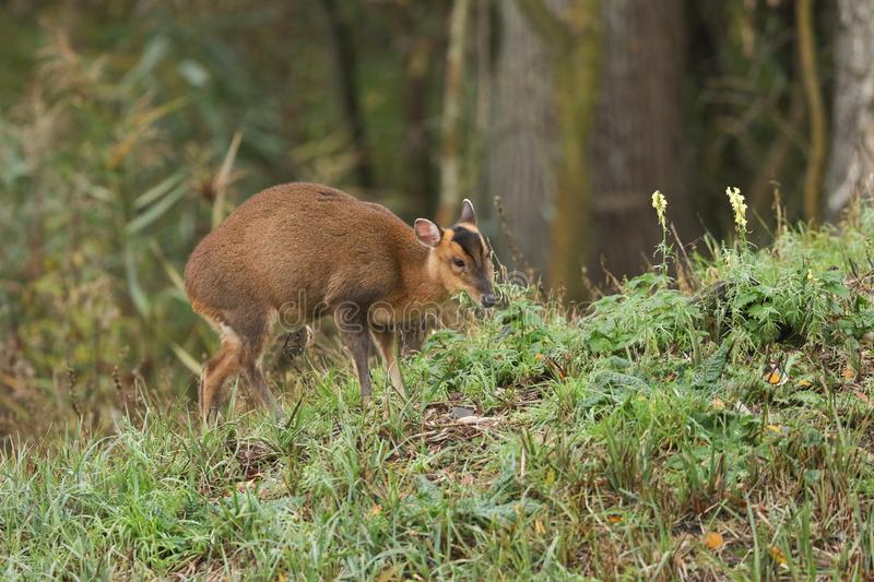 A pretty female Muntjac Deer, Muntiacus reevesi, feeding on an island in the middle of a lake in Autumn. A cute female Muntjac Deer, Muntiacus reevesi, feeding royalty free stock image