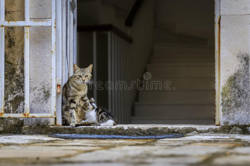 Cute feral alley mama cat feeding the baby kitten in Budva medieval Old Town outside an old house in Montenegro, Balkans. Cute feral alley mama cat feeding the royalty free stock image