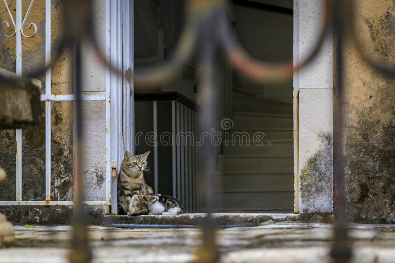 Cute feral alley mama cat feeding the baby kitten in Budva medieval Old Town outside an old house in Montenegro, Balkans stock photo