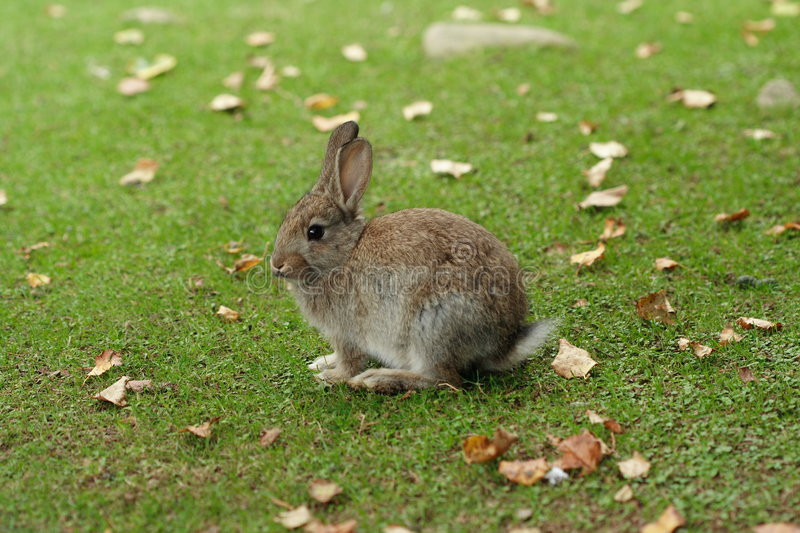 Cute feral rabbit royalty free stock image