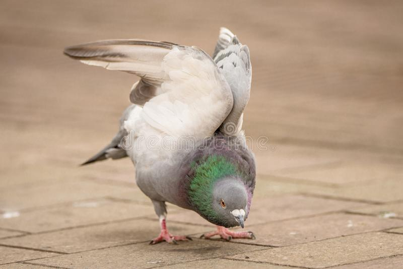 Pigeon stretching its wings on a city sidwalk royalty free stock photos