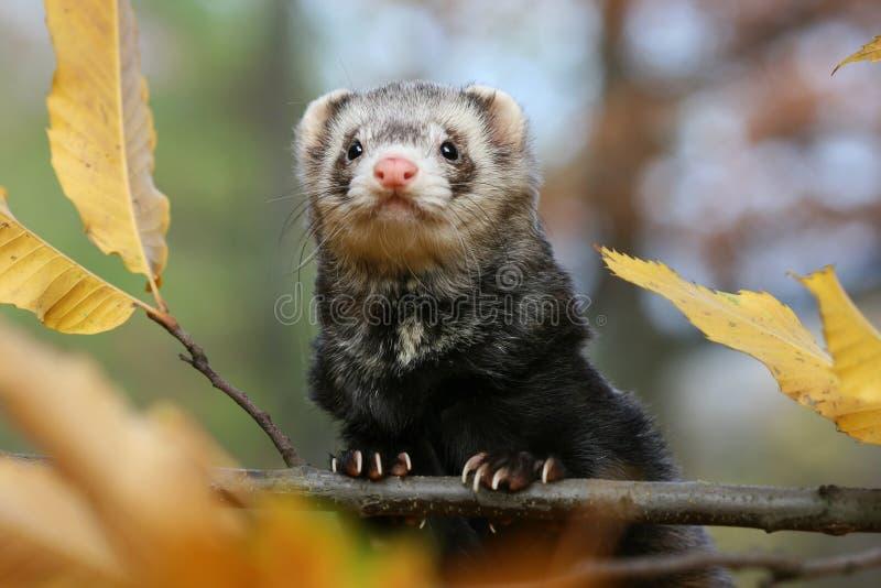 Cute ferret stock images