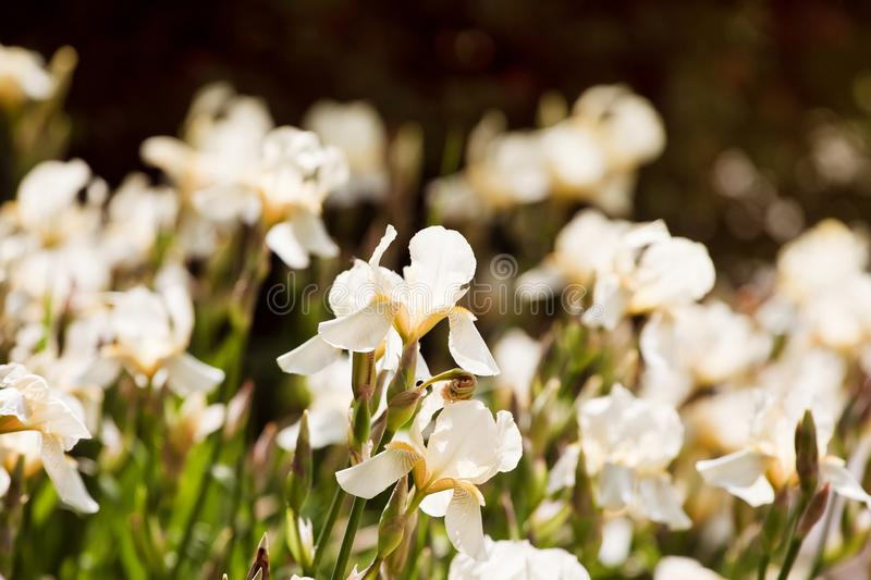 Cute flowerbed in a garden with tender pale yellow iris or fleur-de-lis blossom, summer morning sun backlight stock image