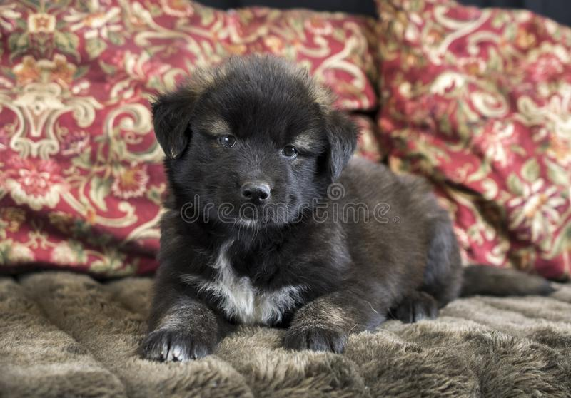 Cute fluffy Aussie puppy mixed breed dog. Cute fluffy Australian Shepherd mixed breed puppy dog on couch. Animal shelter humane society dog rescue pet adoption royalty free stock photos