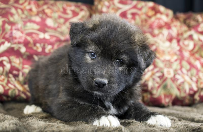Cute fluffy Aussie puppy mixed breed dog. Cute fluffy Australian Shepherd mixed breed puppy dog on couch. Animal shelter humane society dog rescue pet adoption stock photos