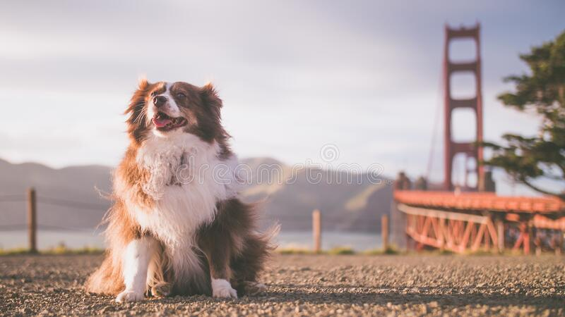 Cute fluffy Australian Shepherd puppy with the Golden Gate Bridge in the background. A cute fluffy Australian Shepherd puppy with the Golden Gate Bridge in the stock image