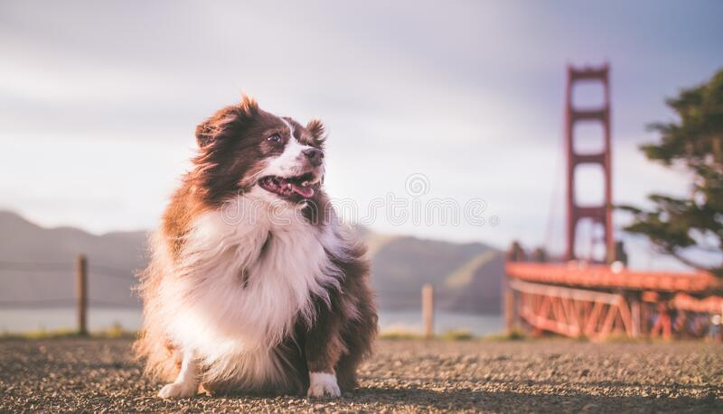 Cute fluffy Australian Shepherd puppy with the Golden Gate Bridge in the background. A cute fluffy Australian Shepherd puppy with the Golden Gate Bridge in the royalty free stock photography