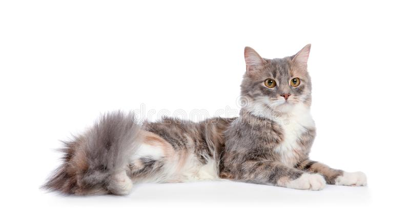 Cute fluffy cat on background. Cute fluffy cat on white background stock photography