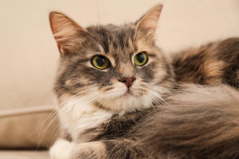 Cute fluffy cat at home. Domestic pet. Cute fluffy cat at home, closeup. Domestic pet royalty free stock images