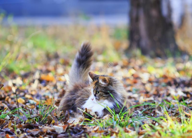 Fluffy cat playing in the garden outside among the fallen leaves and grass on a Sunny autumn day. Cute fluffy cat playing in the garden outside among the fallen stock photography