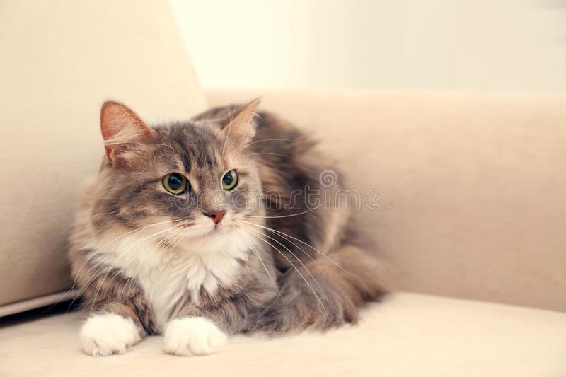 Cute fluffy cat on sofa. Domestic pet. Cute fluffy cat on sofa at home. Domestic pet royalty free stock images