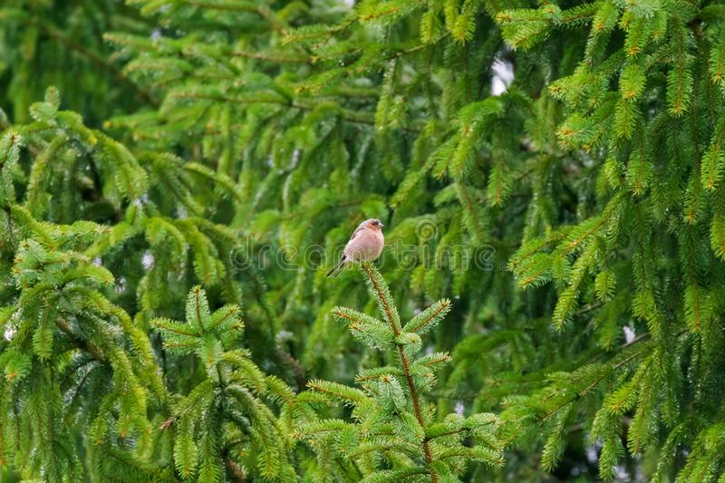 Cute fluffy Common Chaffinch passerine bird perching on top of p royalty free stock images