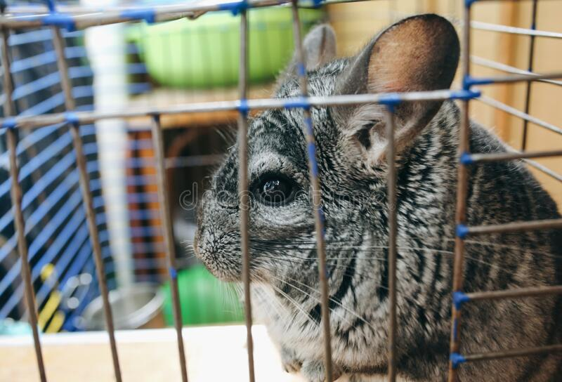 Cute fluffy grey chinchilla is sitting in the old cage. Pet at home. Grey fur and friendly animal.  stock images