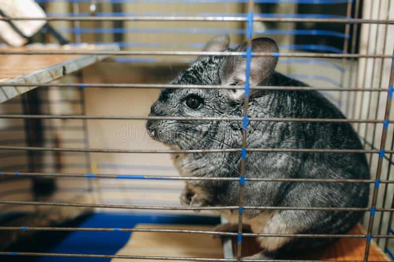 Cute fluffy grey chinchilla is sitting in the old cage. Pet at home. Grey fur and friendly animal.  royalty free stock images