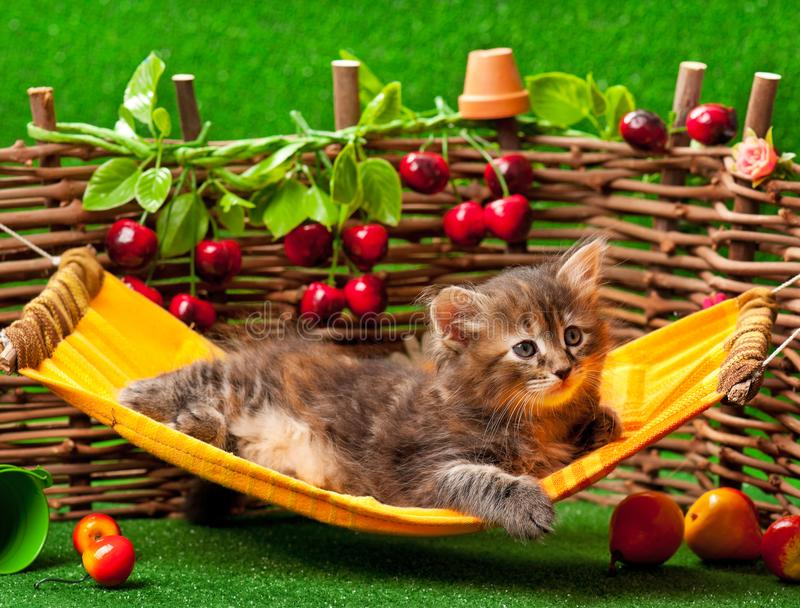 Cute fluffy kitten. On the hammock over wattle fence background royalty free stock photo