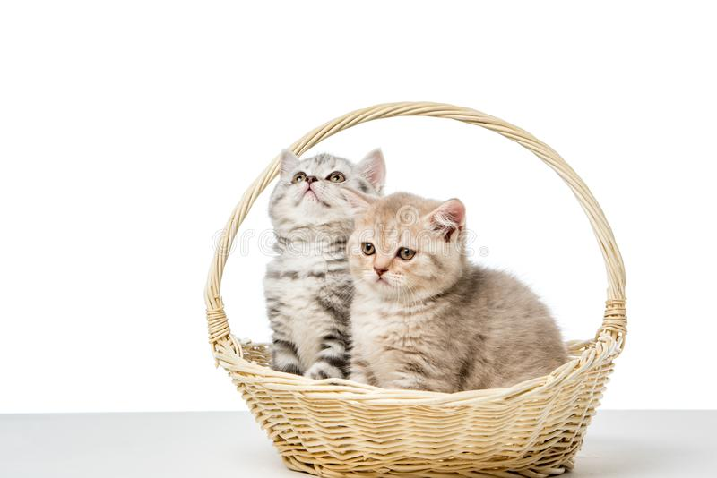 Cute fluffy kittens sitting in wicker basket. On white stock photography