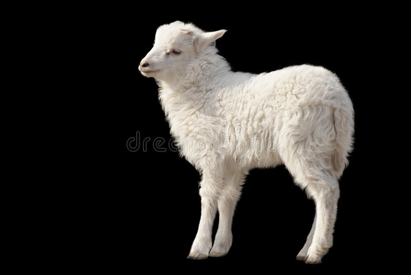 Cute fluffy lamb on black background royalty free stock image