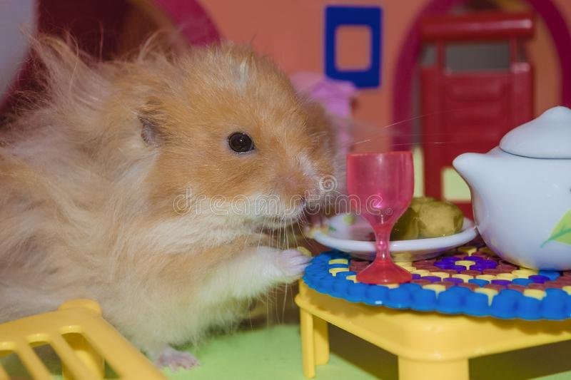 Cute fluffy light brown hamster eats peas at the table in his house. Close-up pet eats royalty free stock photography