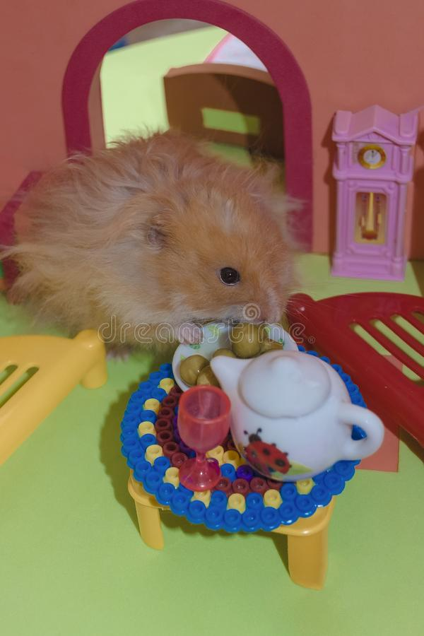 Cute fluffy light brown hamster eats peas at the table in his house. stock photos