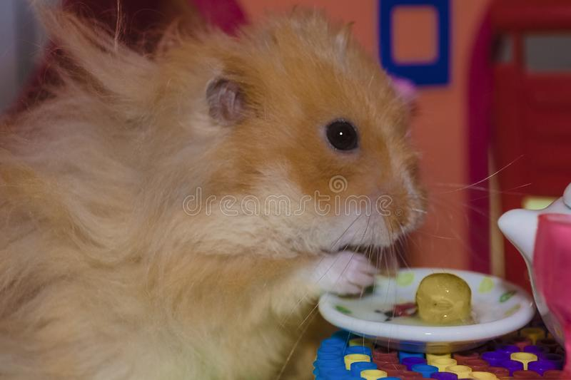 Cute fluffy light brown hamster eats pes at the table in his house. Close-up pet eats with his hands royalty free stock photo