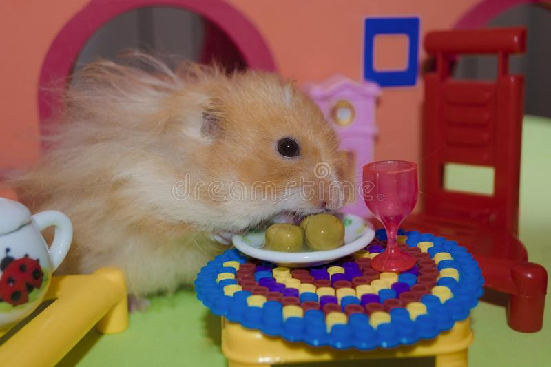 Cute fluffy light brown hamster eats three peas royalty free stock photography