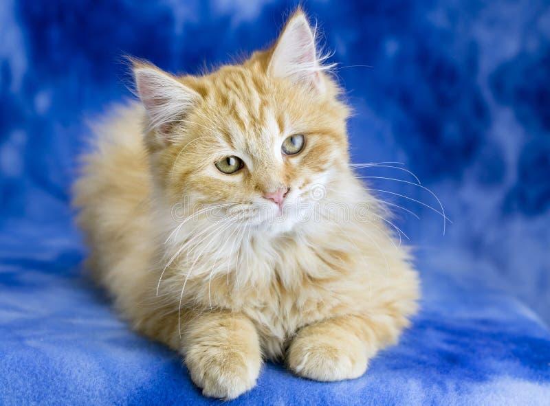 Cute fluffy pomarańczowy kotek adopcyjny studio fotograficzne portret zdjęcie stock