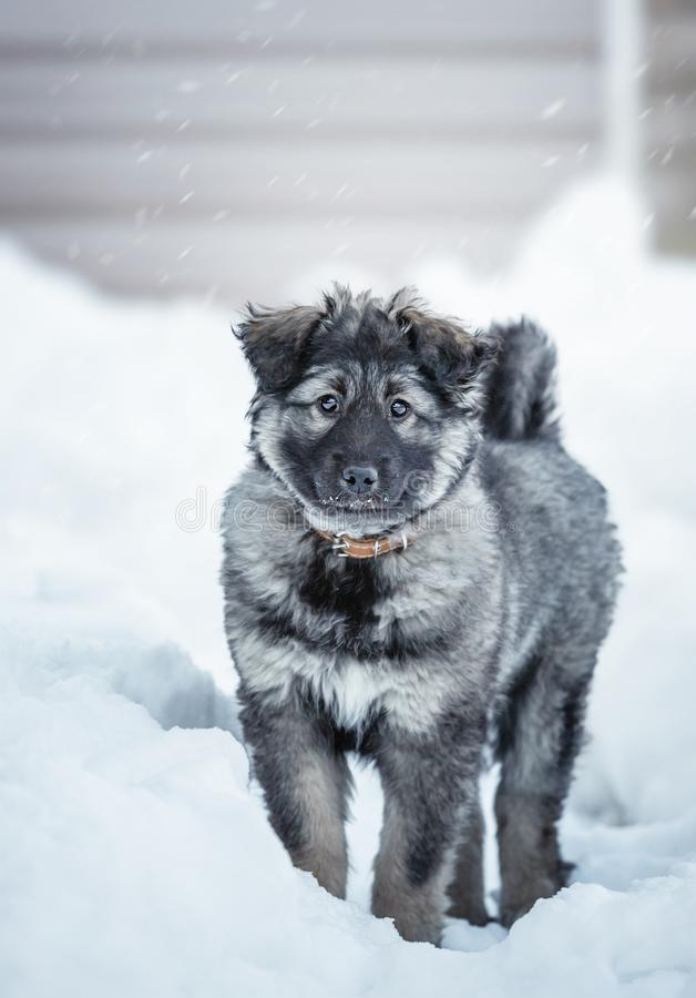 Cute fluffy puppy. Playing in the snow stock image