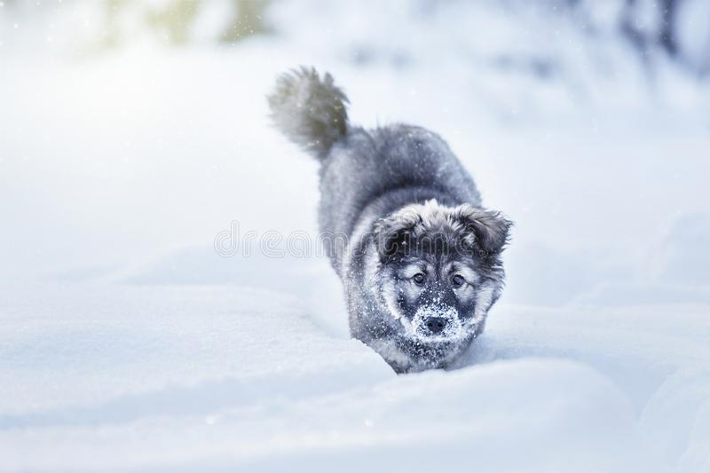 Cute fluffy puppy. Playing in the snow royalty free stock photography
