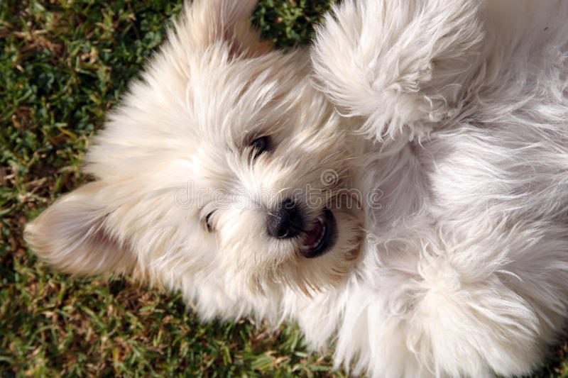 Cute fluffy puppy dog. Cute white fluffy puppy dog laying on it's back waiting to be patted. Pomeranian cross terrier small dog royalty free stock image