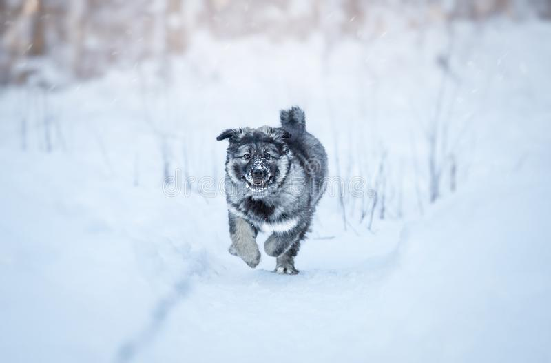 Cute fluffy puppy. Playing in the snow royalty free stock photos