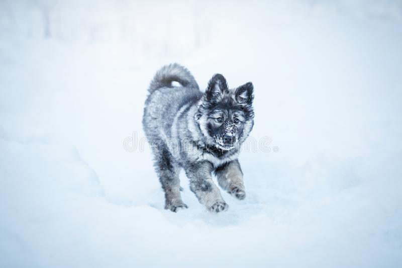 Cute fluffy puppy. Playing in the snow royalty free stock photo