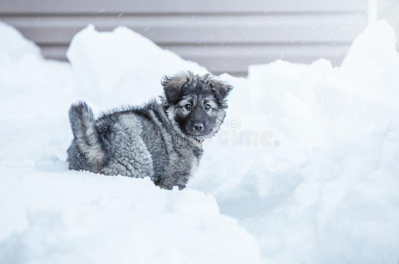 Cute fluffy puppy. Playing in the snow stock photos