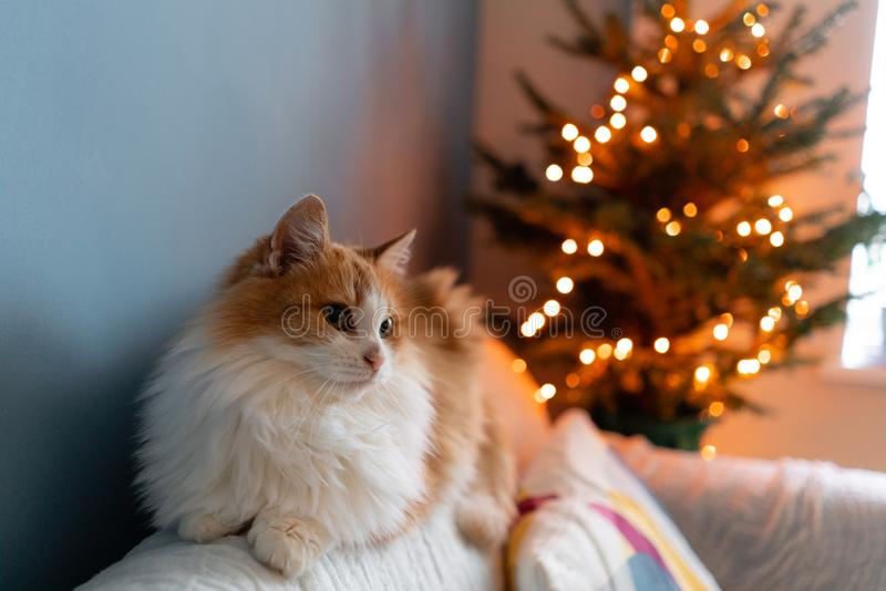 Cute fluffy red and white cat on Christmas tree background. Decorating Natural Danish spruce at home. Winter holidays in. A house interior. Light garlands royalty free stock photography