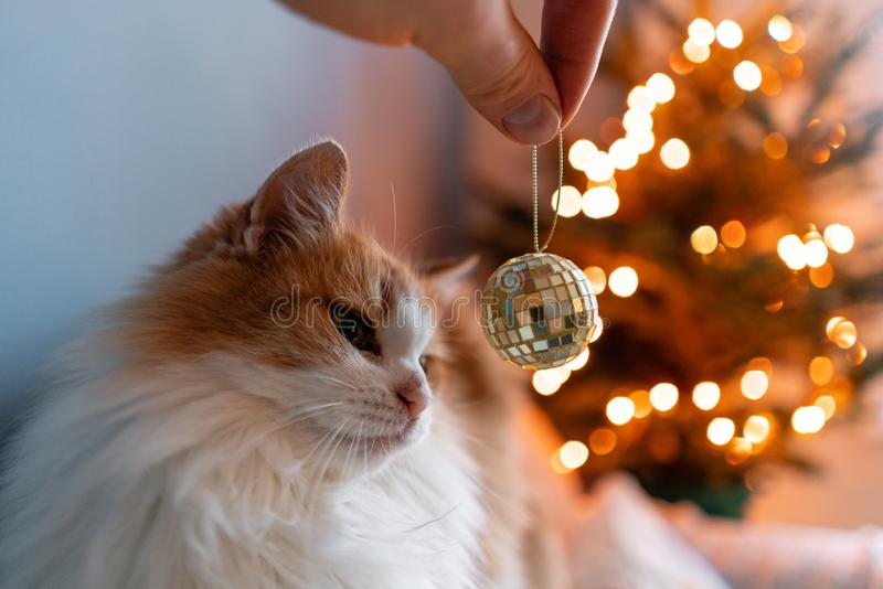 Girl plays with fluffy red and white cat on Christmas tree background. Decorating Natural Danish spruce at home. Winter. Cute fluffy red and white cat on stock images