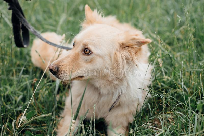 Cute fluffy scared dog walking in green grass in summer park. Adorable mixed breed puppy with big fur on a walk at shelter. stock photos