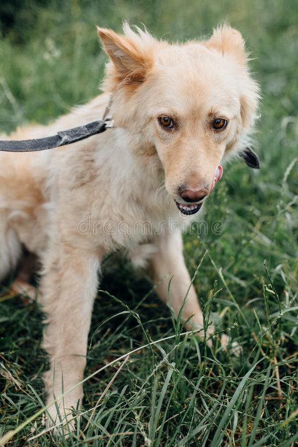 Cute fluffy scared dog walking in green grass in summer park. Adorable mixed breed puppy with big fur on a walk at shelter. stock images