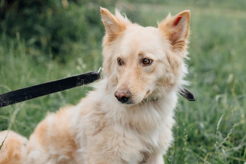 Cute fluffy scared dog walking in green grass in summer park. Adorable mixed breed puppy with big fur on a walk at shelter. Adoption concept. Stray foxy dog stock image