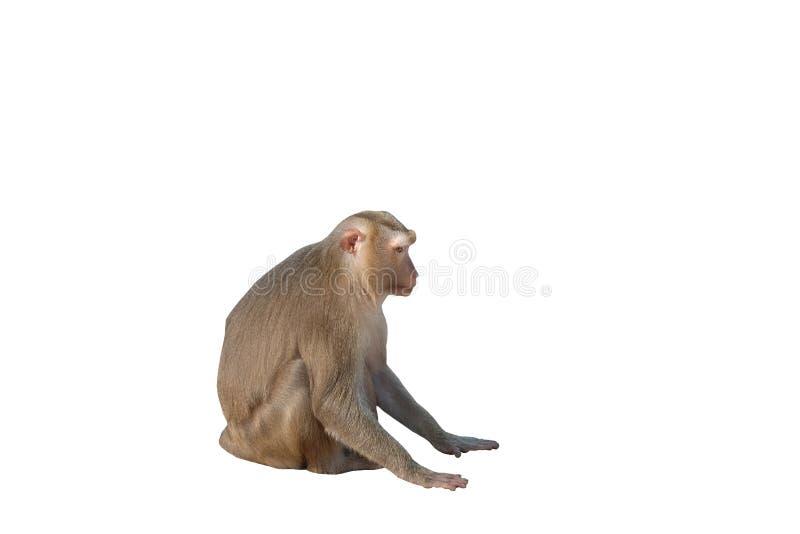 Cute fluffy sitting monkey. White background. Isolated.  royalty free stock photo