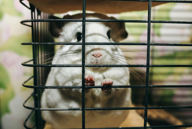 Cute fluffy white chinchilla is sitting in the cage. Pet at home. White fur and friendly animal.  royalty free stock photography